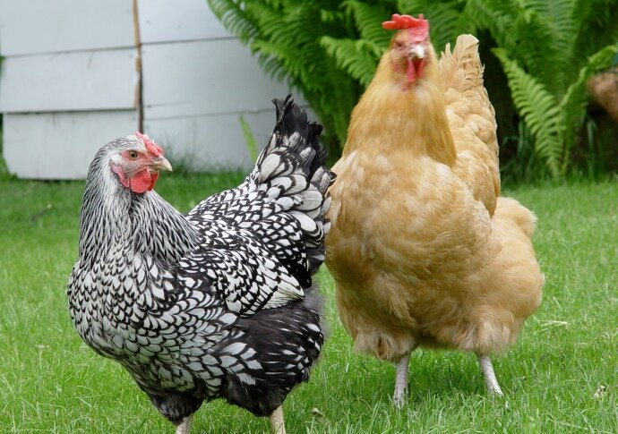 Winning the Backyard Chicken Fight: Gretchen Anderson on Self-Reliant Radio
